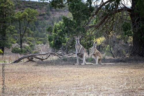 Foto op Plexiglas Oceanië South Australia – outback wilderness with a western grey kangaroo in front of trees and bush AU20170049