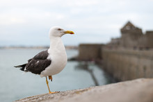 Lesser Black Backed Gull Standing On One Foot On The Wall Of Saint Malo