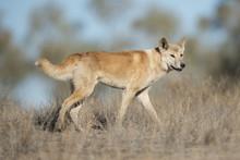 Australian Dingo In Desert Cou...