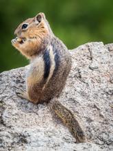 Stock Photo Of Chipmunk