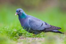 Male Stock Dove In A Lawn