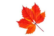 Autumn Colors Leaf, Foliage Isolated On White Background