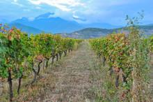 Rows Of Vines Near Kazbegi, Georgia
