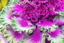Beautiful Decorative Cabbage Cauliflower, Selective Focus