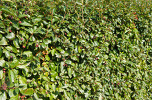 Cotoneaster Lucidus Or Shiny C...