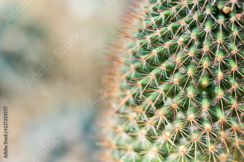 Macro shot of a green cacti or cactus and its thorns or spines