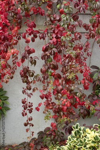 Fotografie, Obraz  Close-up view of autumn red leaves of Virginia creeper vines on a white stucco w