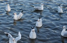 Group Of Seagulls Swimming In A Pond