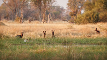 Wild Dogs Hunting, Impalas With Predator. Wildlife Scene From Africa, Khwai River, Okavango Delta. Animal Behaviour In The Nature Habitat, Pack Pride Of Wild Dogs Offensive Attack On Impala.
