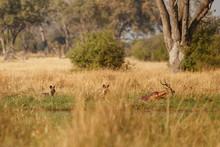 Wild Dogs Hunting, Impalas Wit...