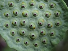 Close Up Of Fresh Lotus Seed Pod On Blur Lotus Leaf Background.