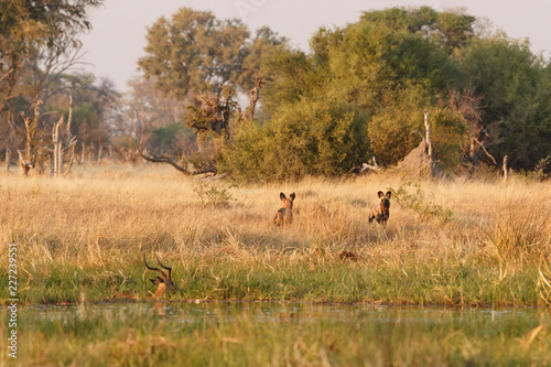Wild Dogs hunting, impalas with predator Canvas Print