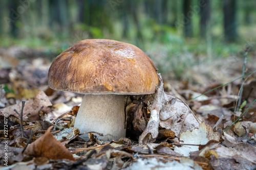 Delicious edible mushroom Boletus reticulatus in autumn forest