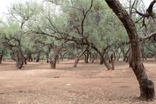 Mesquite Forrest