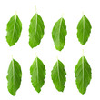 Asian Thai basil fragrant green herb isolated on white background