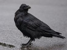 A Black Crow On A Ground