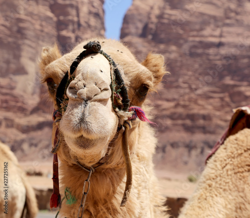 Fotobehang Kameel Camel in the Wadi Rum Desert (also known as The Valley of the Moon) is a valley cut into the sandstone and granite rock in southern Jordan 60 km to the east of Aqaba