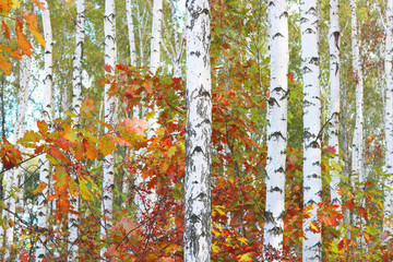 Fototapeta Do pokoju beautiful scene with birches in yellow autumn birch forest in october among other birches in birch grove