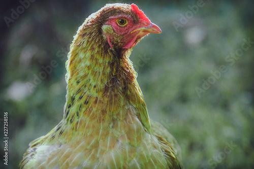 Foto op Canvas Kip portrait of a chicken
