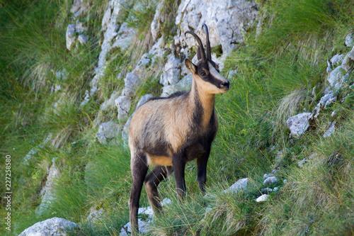 Photo chamois of abruzzo national park of abruzzo