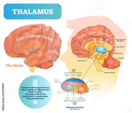 Fototapeta Thalamus vector illustration. Labeled medical diagram with brain structure. obraz