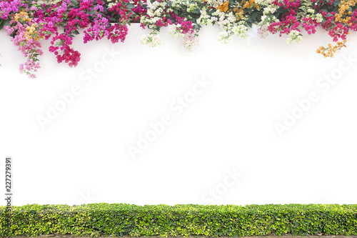 Poster Fleur Bougainvillea and shrub on the white cement wall background.