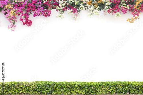 Fotografía Bougainvillea and shrub on the white cement wall background.