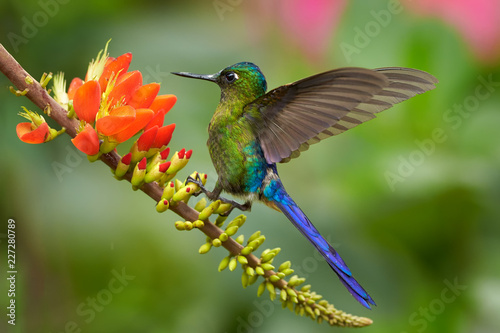 Violet-tailed Sylph, Aglaiocercus coelestis, long-tailed hummingbird, feeding on a  orange flowers, showing off its blue colors and wings against abstract pink and green background. Tatama, Colombia.