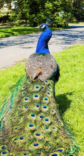 Fototapeta premium Mężczyzna Peacock spaceru po ogrodzie w słoneczny wiosenny dzień.