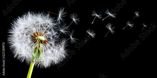 Panoramic view of a dandelion with a breeze blowing the seeds in a studio setting on a black background