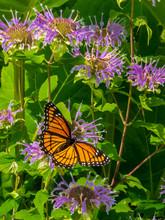 Monarch Butterfly On Bee Balm