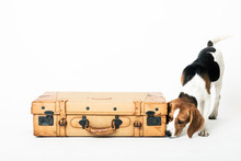 Cute Beagle Posing In A Studio Sniffing A Suitcase Isolated On White
