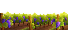Vineyard With Purple Grapes Isolated On White Background. Autumn Season. Vector Illustration.
