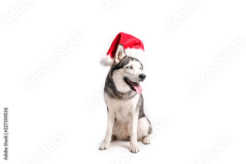 9a2038fbeff Christmas dog concept. Portrait of young beautiful funny husky sitting with  tongue out wearing santa