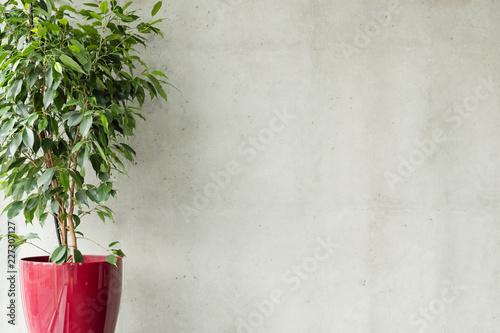 Fotografija ficus benjamina in red pot against grey concrete wall