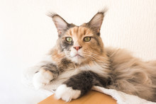 Blue Tortie Tabby With White Maine Coon Cat On Top Of Cat Tree