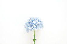 Blue Hydrangea Flower On White Background. Flat Lay, Top View.