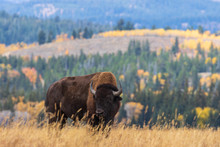 American Bison Bull In Autumn