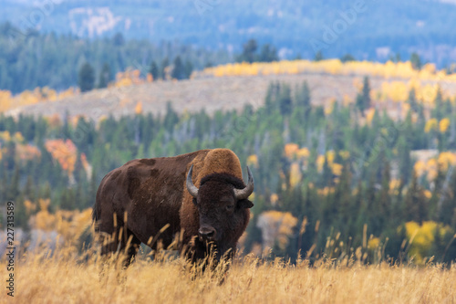 Deurstickers Buffel American Bison bull in Autumn