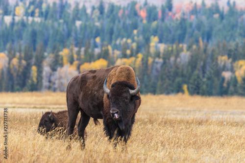 Keuken foto achterwand Buffel American Bison bull in Autumn