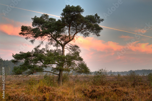 Fotografie, Obraz  Scots pine on a heath in early morning, orange colored clouds and contrail in th