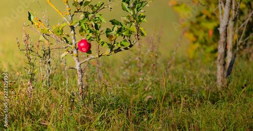 Fototapeta Jesienne Jabłko  obraz