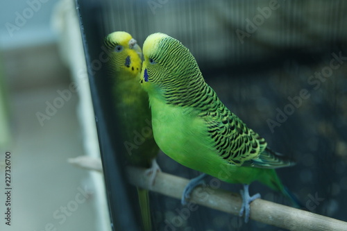 Green Parrot In The Cage Budgie Parakeets Green Wavy Parrot Sits In A Cage Rosy Faced Lovebird Parrot In A Cage Birds Inseparable