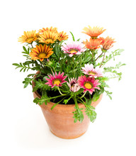 Colorful  Gazania Plants In Th...