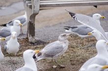 Flocks Of Seagulls Fight And Squawk Over Food Near The Atlantic Ocean On The Coast Of Maine