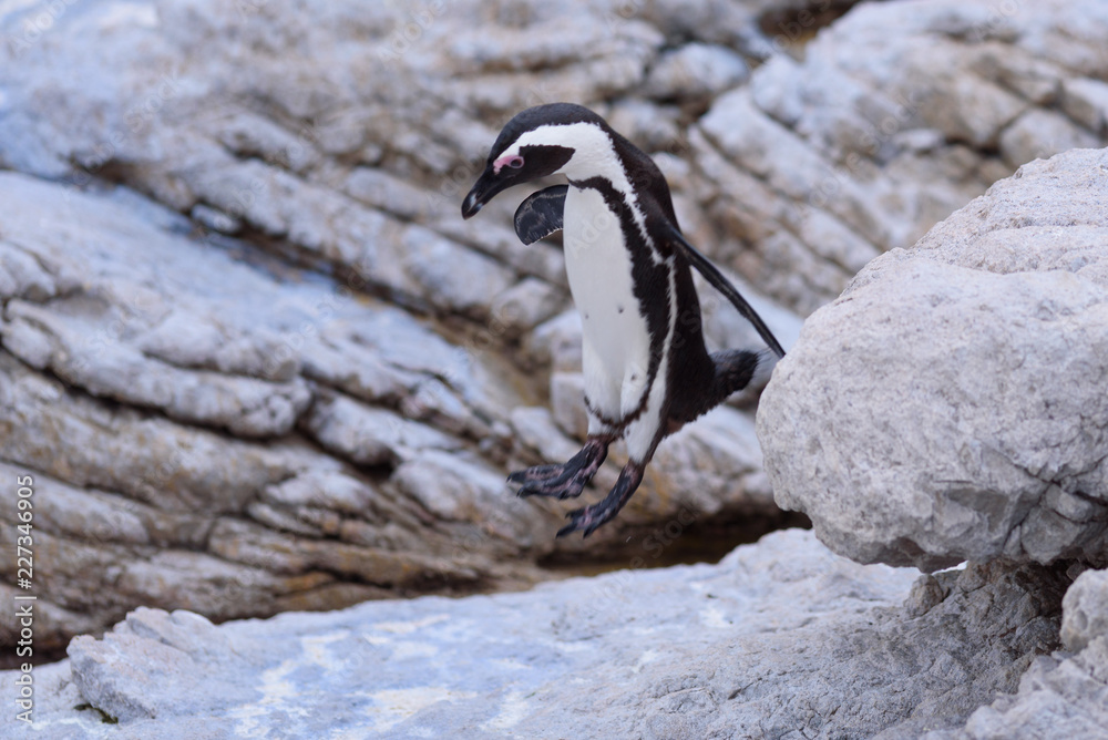 penguin Spheniscus demersus in south africa