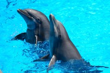 Two Dolphins Performing In A D...