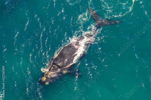 Adult Whale in the sea. St Lucia in South Africa is one of the top Safari Tour destinations. Aerial view.