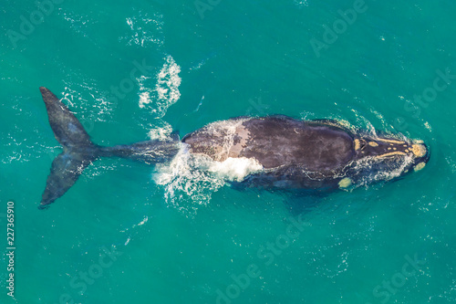 Adult Whale off the shore in St Lucia, South Africa, one of the top Safari Tour destinations. Aerial view. Whale watching during migration between June and November in winter season.