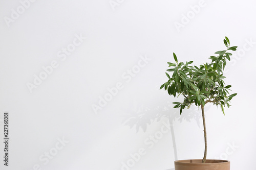 Foto op Aluminium Olijfboom Flowerpot with olive plant on white background. Space for text